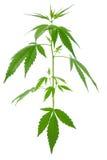 Anlagen eines junge neue wachsende Hanfs (Marihuana) Lizenzfreies Stockbild