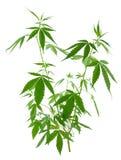 Anlagen eines junge neue wachsende Hanfs (Marihuana) Stockbilder