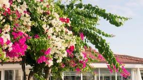 Anlagen mit den rosa und weißen Blumen auf dem Dach Stockbilder