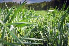Anlagen von jungen weggeworfenen Ährchen des Weizens nur stockfoto