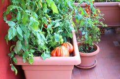 Anlagen von roten Tomaten im Garten einer Wohnung Stockfotografie