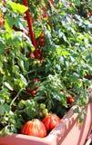 Anlagen von roten Tomaten im Garten städtisch von einer kleinen Wohnung Stockbilder