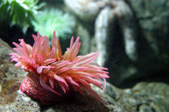 Anémona de mar Imagen de archivo libre de regalías