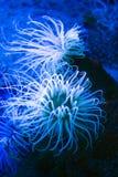Anémona de mar Foto de archivo libre de regalías