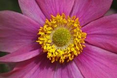 Anémona japonesa en verano, Windflower japonés Imagenes de archivo
