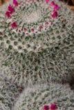 Annäherung eines Kaktus mit den zahlreichen und sehr kleinen Dornen stockfotos