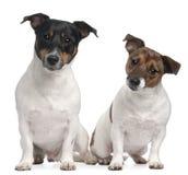 Années de chiens terriers de Jack Russell 4 et 2, Photos stock
