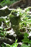 700 années ont ruiné la feuille en pierre antique d'arbre de fraîcheur de vert de quantité de statue de tête de Bouddha pendant l Photos stock