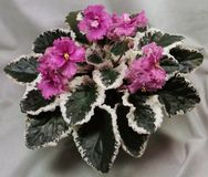`Ann` African violet. Blooming African violet with variegated white and dark green foliage and deep rose pink semi-double blooms Stock Photography