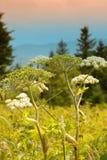 ann królowa kwiatu koronki gór królowa Zdjęcia Royalty Free