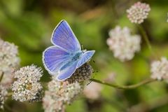 Anna \ 's Blauwe (Plebejus anna) vlinderzitting op een Kustboekweit (Eriogonum-latifolium) wildflower, Marin Headlands, San royalty-vrije stock foto