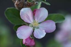 Anna Apple Blossom Foto de Stock
