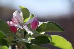 Anna Apple Blossom Imagem de Stock Royalty Free