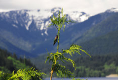 Anna hummingbird zdjęcia royalty free