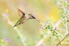 Anna Hummingbird karmienie na Mądrych kwiatach obrazy stock