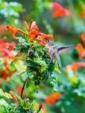 Anna Hummingbird obsiadanie na liściu Zdjęcie Stock