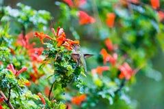 Anna Hummingbird obsiadanie na liściu Fotografia Royalty Free