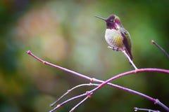Anna Hummingbird op een tak wordt neergestreken die stock foto's