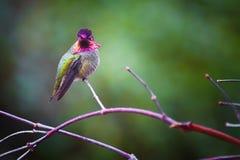 Anna Hummingbird op een tak wordt neergestreken die royalty-vrije stock fotografie