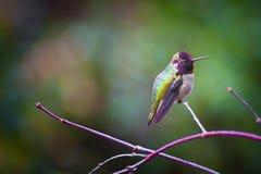 Anna Hummingbird op een tak wordt neergestreken die stock foto