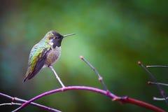 Anna Hummingbird op een tak wordt neergestreken die stock afbeelding