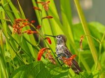 Anna Hummingbird que alimenta desde las flores rojas del crocosmia Imagenes de archivo