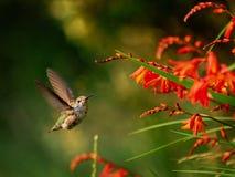 Anna Hummingbird que alimenta desde las flores rojas del crocosmia Fotos de archivo