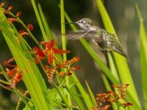 Anna Hummingbird que alimenta desde las flores rojas del crocosmia Fotografía de archivo