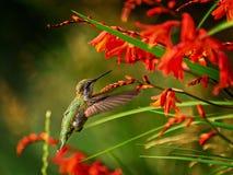 Anna Hummingbird que alimenta desde las flores rojas del crocosmia Imagen de archivo libre de regalías