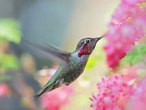 Anna Hummingbird que alimenta sobre - - voe das flores cor-de-rosa fotos de stock royalty free