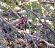 Anna Hummingbird. Hummingbird resting on a tree branch Royalty Free Stock Photos