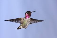 anna hummingbird s Royaltyfri Bild