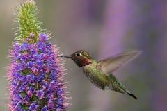 anna hummingbird s zdjęcia stock