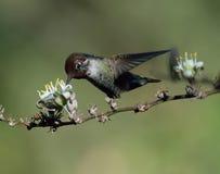 anna hummingbird s Arkivfoton