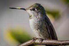 anna hummingbird s Royaltyfri Foto