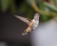anna hummingbird s Arkivbilder