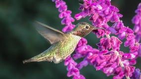 anna hummingbird s Royaltyfria Foton