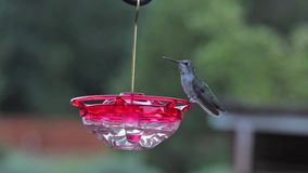 Anna Hummingbird at Twilight. Anna hummingbird on feeder at twilight stock video footage