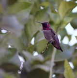 anna kolibra s Zdjęcie Royalty Free