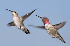 anna kolibra s Fotografia Royalty Free