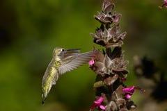 Anna kolibrie, calypte anna Stock Afbeelding