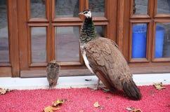 Anna peacocks και κουτάβια που περιμένουν στην πόρτα Στοκ Φωτογραφία