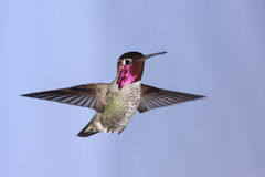 Anna's Hummingbird Royalty Free Stock Image