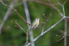 Anna's Hummingbird. A female Anna's Hummingbird sits on a branch in Fall Stock Photo