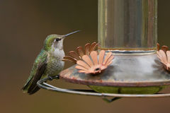 Anna's Hummingbird Stock Photo