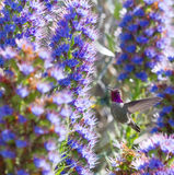 Anna's Hummingbird Royalty Free Stock Images