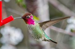 Anna's Hummingbird. A hummingbird hovers at a feeder, with bright purple plumage Stock Images