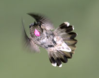Anna's Hummingbird Stock Photos
