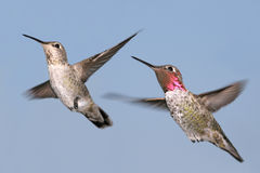 Anna's Hummingbird Royalty Free Stock Photography