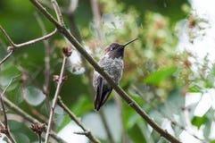 Anna& x27;s hummingbird stock photos